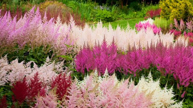 Многолетние цветы для дачи фото с названиями   Астильба ...