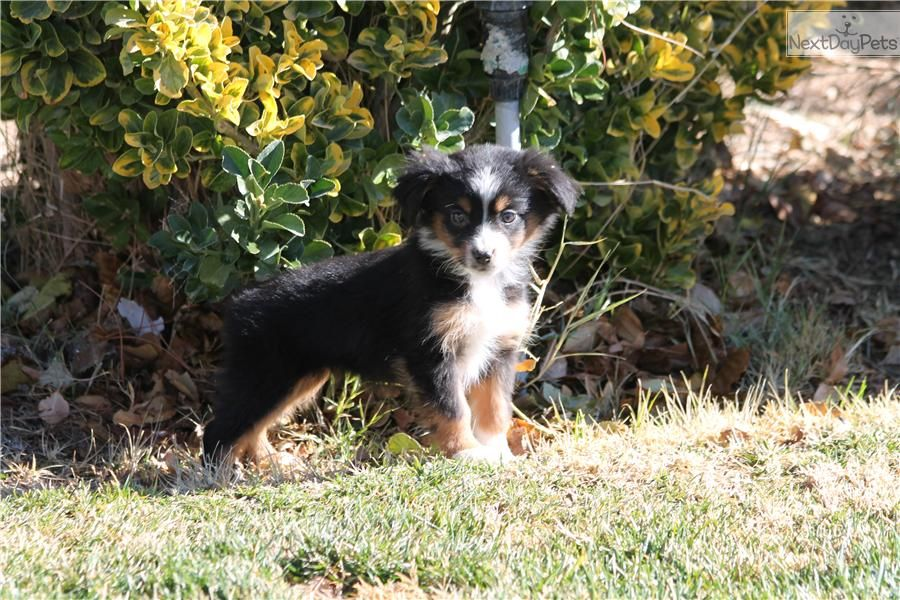 Australian Shepherd Boxer Mix Puppies Australian Shepherd Boxer Mix Puppy For Sale In Thousand Australian Shepherd Boxer Mix Puppies Australian Shepherd Mix