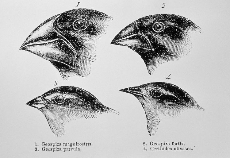 How Finches Helped Darwin Develop His Theory Of Evolution