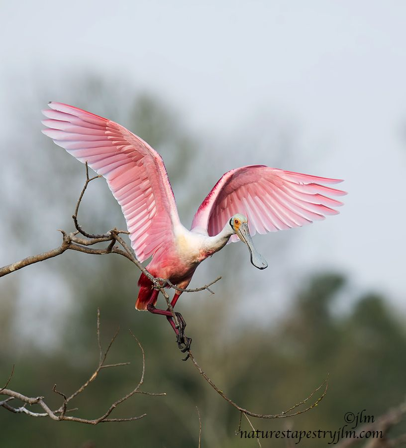 roseate spoonbill on branch