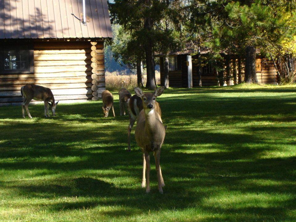 Deer in the yard_Seeley Lake Montana ô¿ô¬