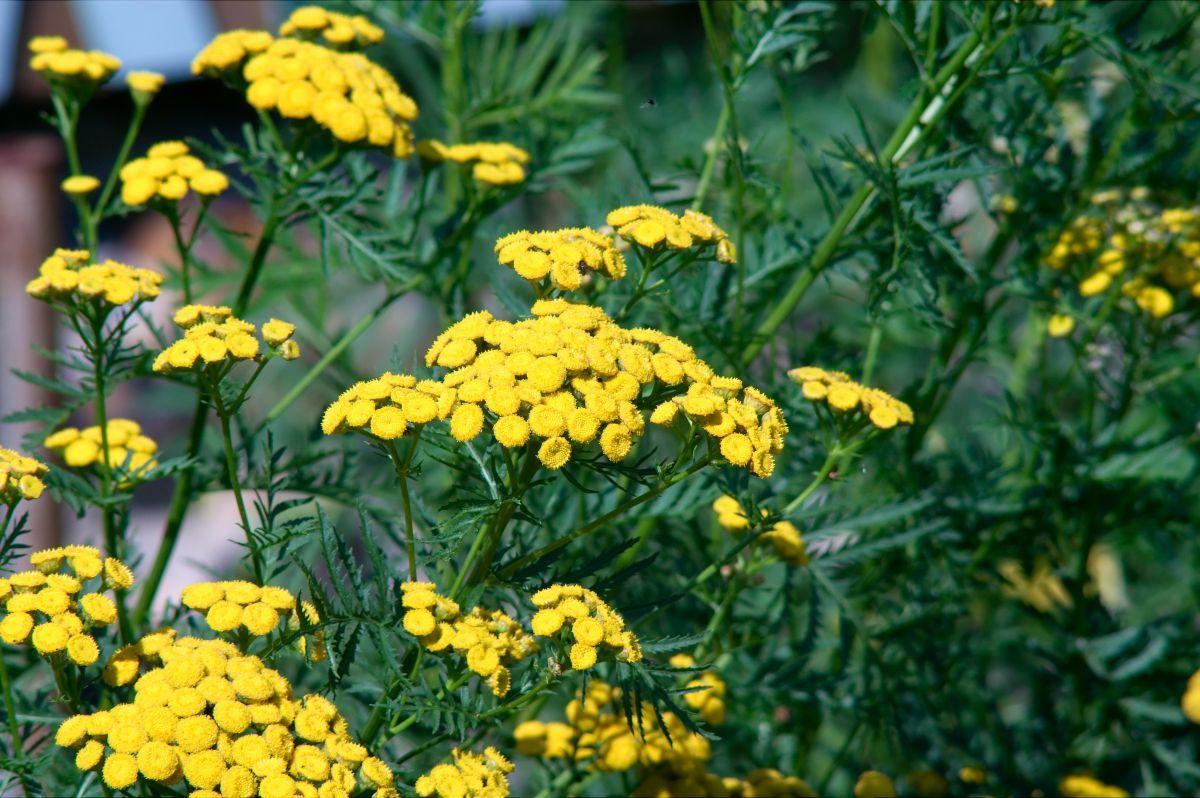 La tanaisie, une plante utile pour la santé, la maison et ...