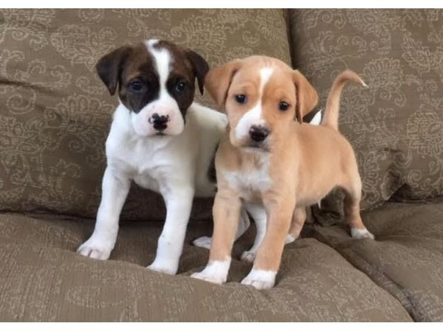 Listing Two Adorable Boxer Puppies For Adoption Is Published On