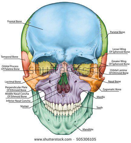 the bones of the cranium, the bones of the head, skull. the, Sphenoid