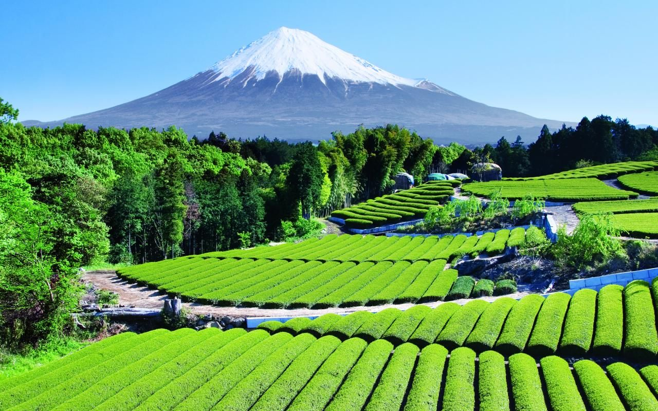 Tea garden near Mt. Fuji