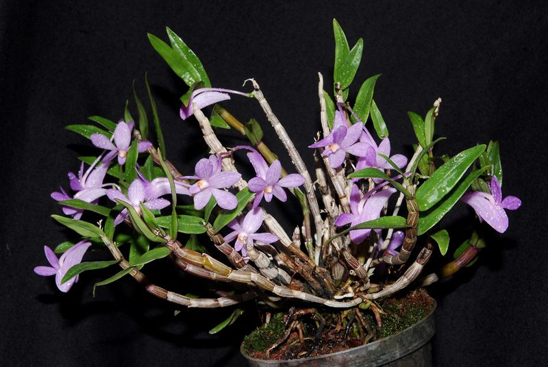 Dendrobium Hasseltii Orchids Plants Nature Animals