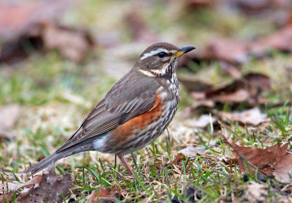 Wil je iets weten over de Koperwiek? Kijk in de online vogelgids van Vogelbescherming. http://www.vogelbescherming.nl/koperwiek/play