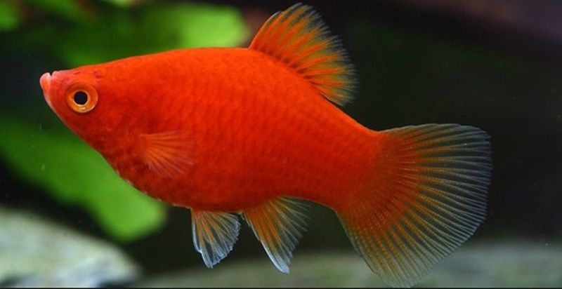Ca Ha Lan Thong Tin Kiến Thức Về Ca Ha Lan Platy Fish Freshwater Fish Fish