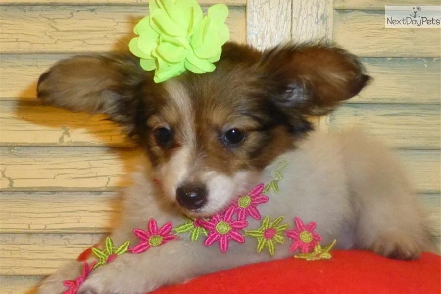 Meet Katy A Cute Papillon Puppy For Sale For 800 Katy Dark Sabe