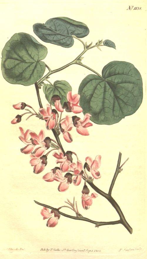 Hortus Camdenensis | Cercis siliquastrum L.