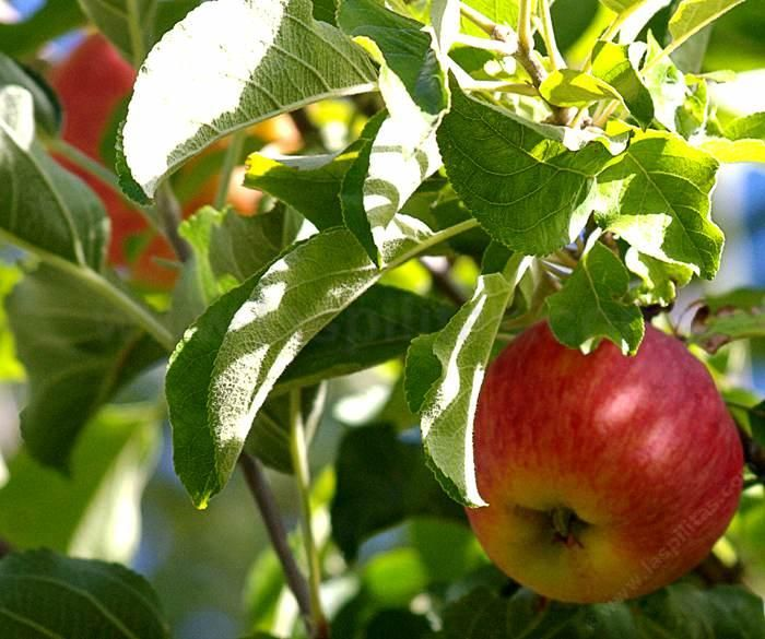 Creating Our First Vegetable Garden Advice Please: Apple Tree From The Fruit And Vegetable Garden.