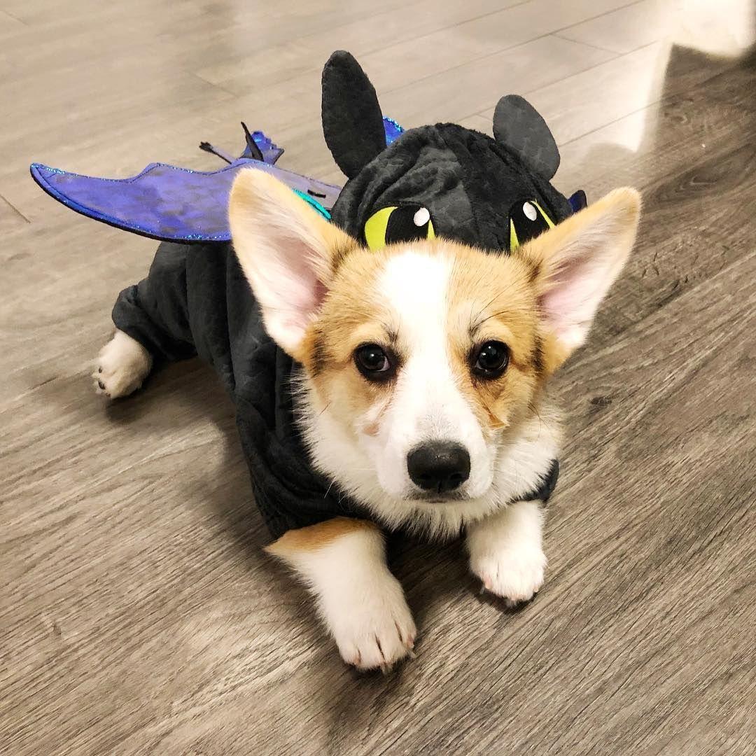 Corgi Dog Halloween Costume Corgi Dog Halloween Costumes Corgi Halloween Costumes Dog Halloween Costume Cute Corgi Puppy Dog Halloween Costumes Funny Corgi Dog
