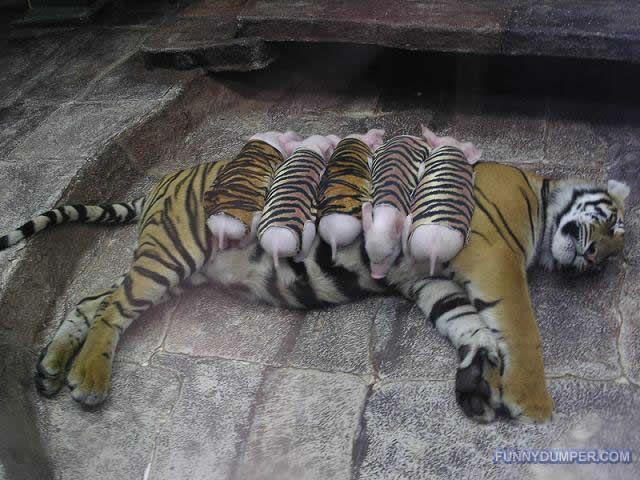 Animal おしゃれまとめの人気アイデア Pinterest Chi 子ブタ ペット 動物