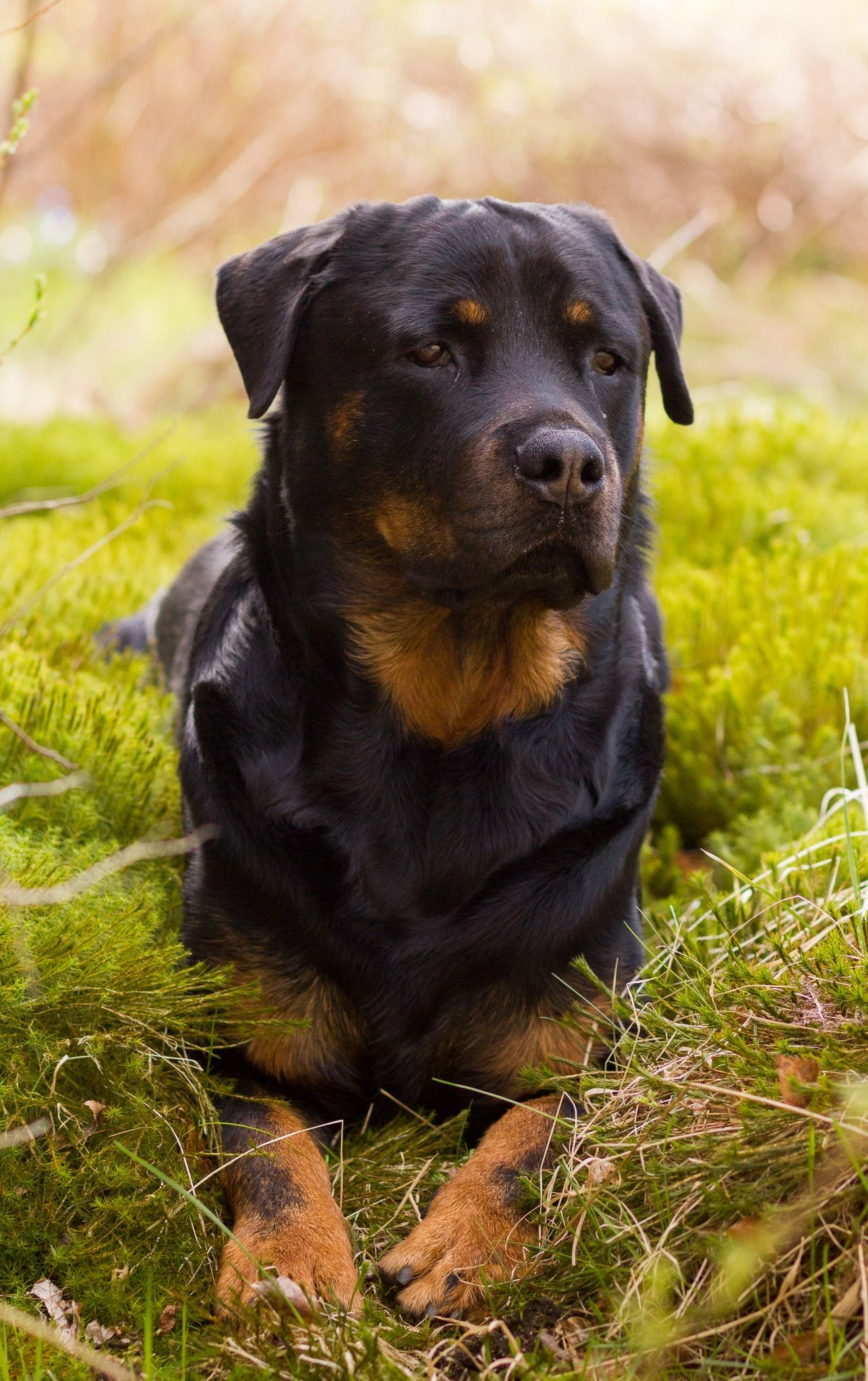 Rottweiler Loving Confident and Loyal Rottweiler