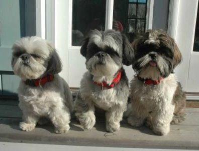 My Dogs Sophie Mabel Humphrey Marcia Miami Beach Fl Shih Tzu Shitzu Dogs Shih Tzu Puppy