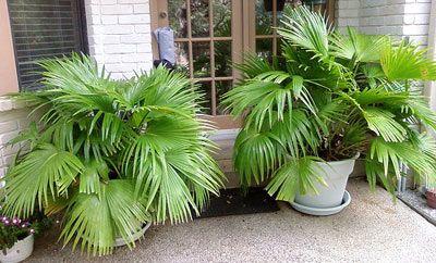 Chinese Fan Palm Tree Livistonia Chinensis Chinese Fan Palm