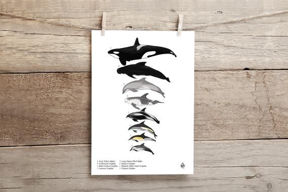 Dolphins of the British Isles #britishisles