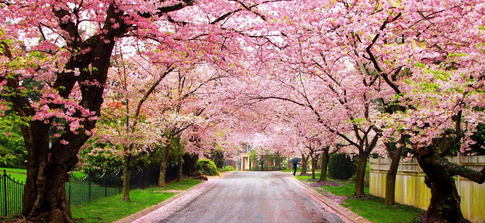What A Beautiful Sight Cherryblossoms Cherry Blossoms Flowers Floweringtrees Spring Springtime Easter R Paisajes Traduccion Al Espanol Arte Paisajes