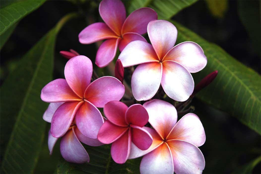 Plumeria is a stunning little Hawaiian flower...love this Hawaiian flower, great tattoo idea