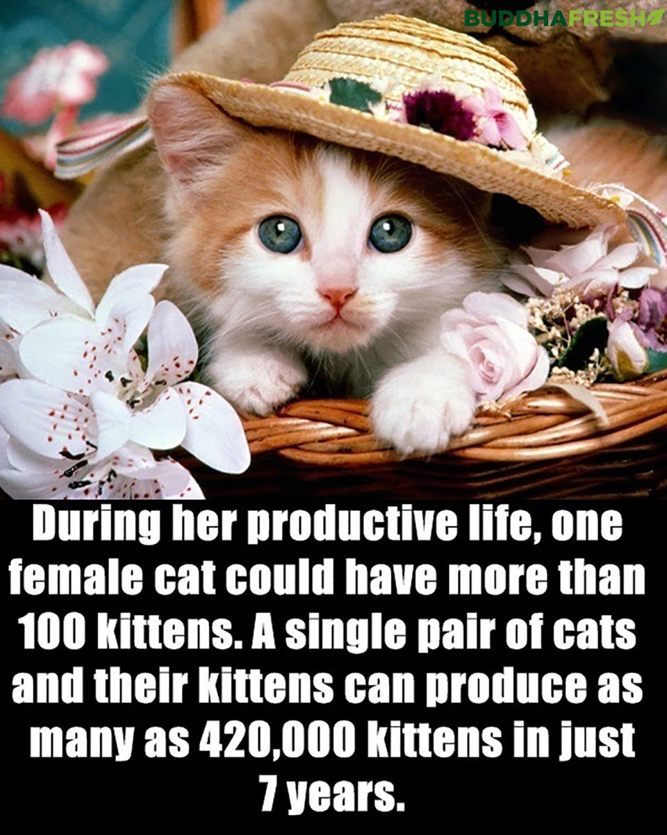 During Her Productive Life One Female Cat Could Have More Than 100 Kittens A Single Pair Of Cats And Cute Cat Wallpaper Kittens Cutest Cute Cats And Kittens
