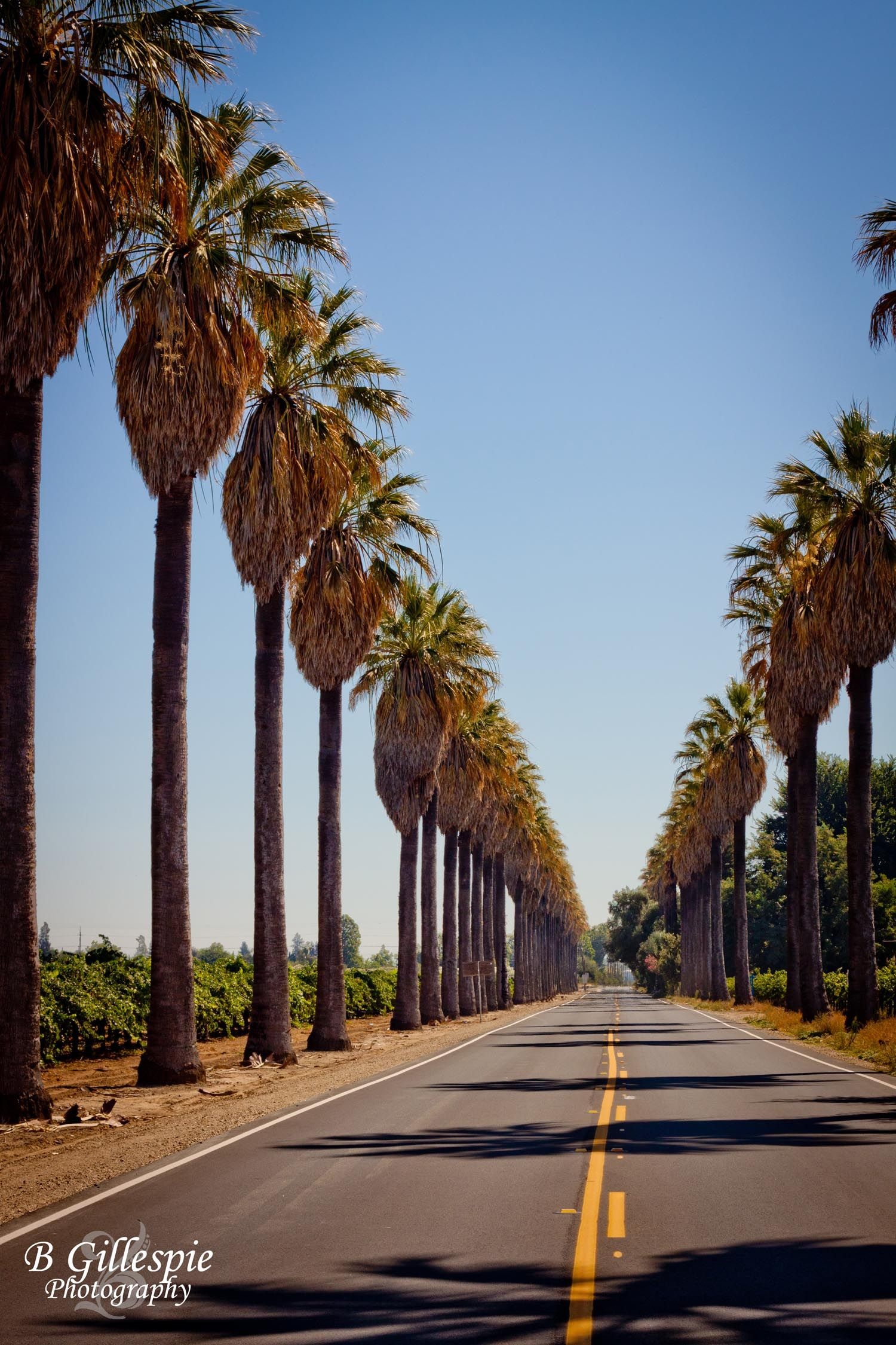 Palm Trees in Acampo www.bgillespiephotography.com | Through the ...