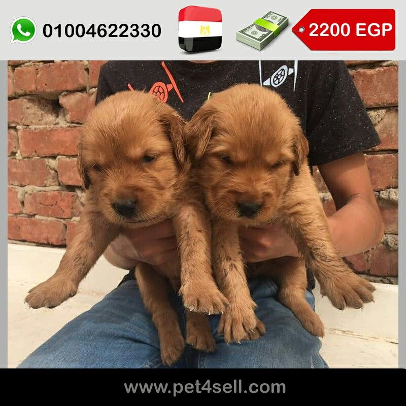مصر السويس Golden Retriever Puppies Long Hair Female 40 Days Pet4sell Golden Retriever Retriever Puppy Labrador Retriever
