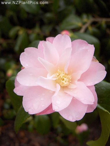 camellia alison leigh woodroof