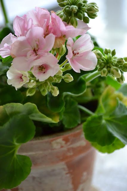 For some reason I love geraniums in clay pots...for my own home each year I plant up many ...to just place here and there for great accent of colors...I have a gray house so one year I use red, one year pink, one year Rose..and one year white...they end always my favorite year! Lol