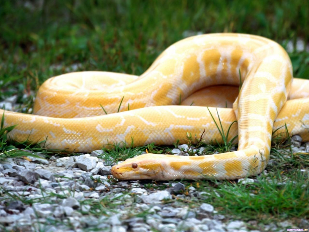 Yellow Snake Burmese Python Snake Wallpaper Snake Photos