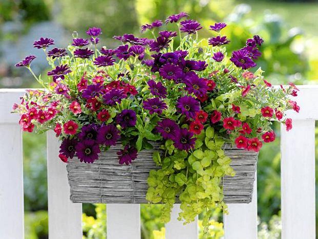 Projekty Balkonow Bukiety W Skrzyniach Na Balkon Flower Pots Window Box Flowers Million Bells Flowers