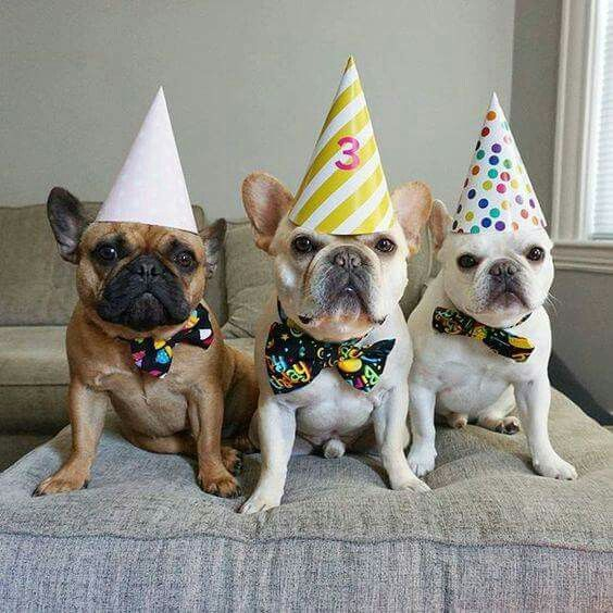 The French Bulldog Birthday Party Is About To Start