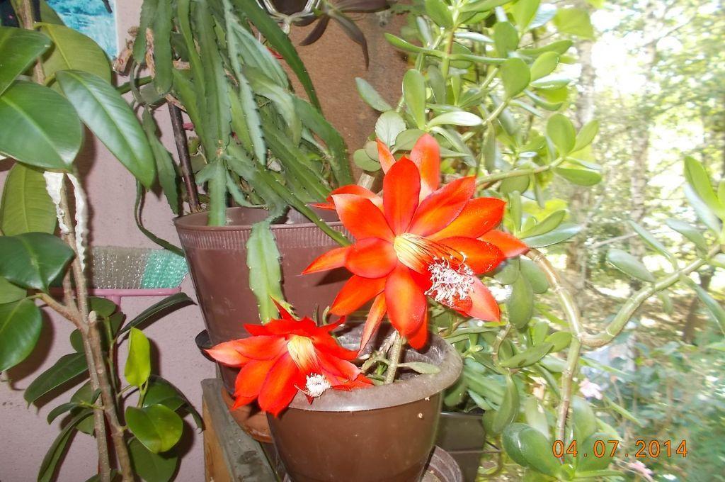 Procvetali kaktus-veliki lepi cvetovi kaktusa,saksijsko cveće