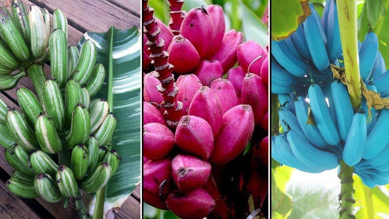 plantain și varicosa tromboza și venele varicoase ce diferența
