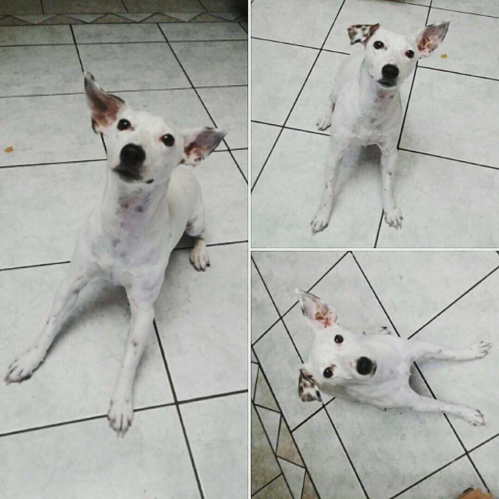 Jack Russell Terrier dog for Adoption in Chandler, AZ. ADN