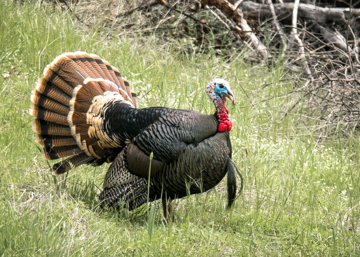 Drawings available for nearly 100 spring wild turkey hunts