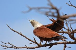 A Brahminy Kite very aggressive towards other birds. Quickly chases away small birds around.