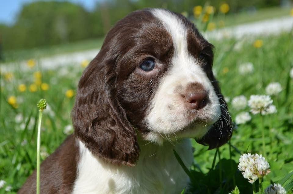 Sarmel Springers Springer Spaniel Cute Dogs