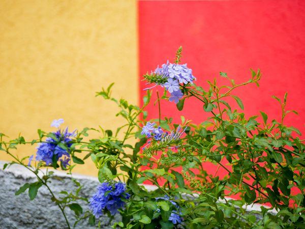 Den Kap-Bleiwurz richtig pflegen - bei Mein mediterraner Garten gibt - garten gestalten mediterran