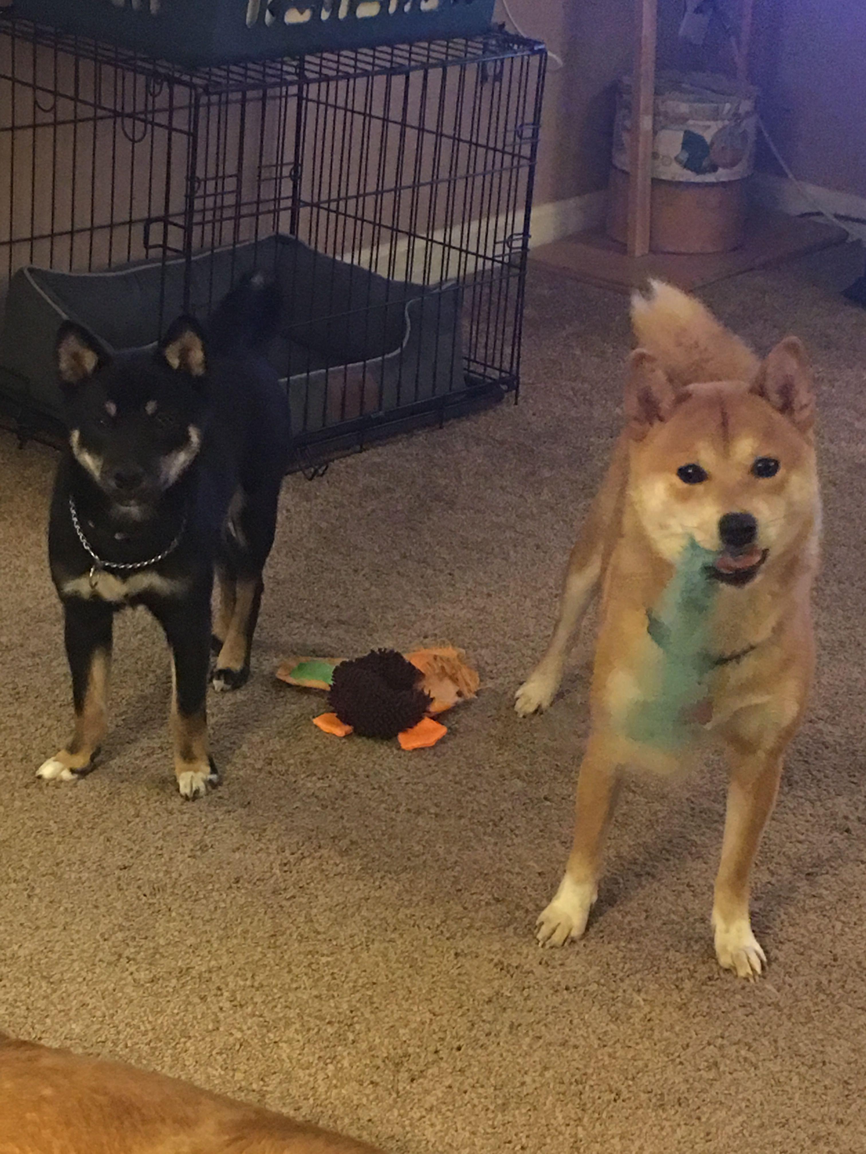 Crazy Shiba S Playing Up A Storm Animals Animals Dogs Shiba