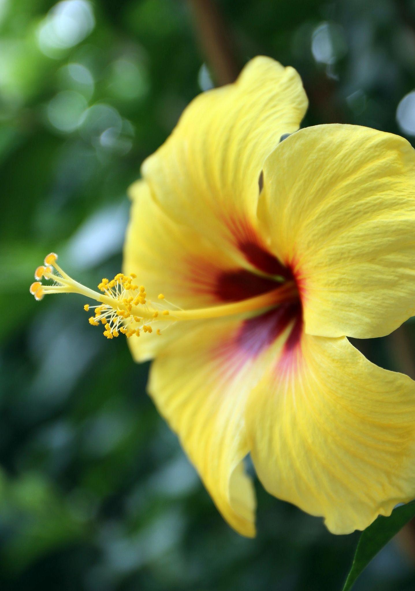 Yellow Hibiscus Hibiscus flowers, Yellow hibiscus