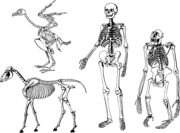 Bones Skeleton Vector Download Vector Skeleton drawings