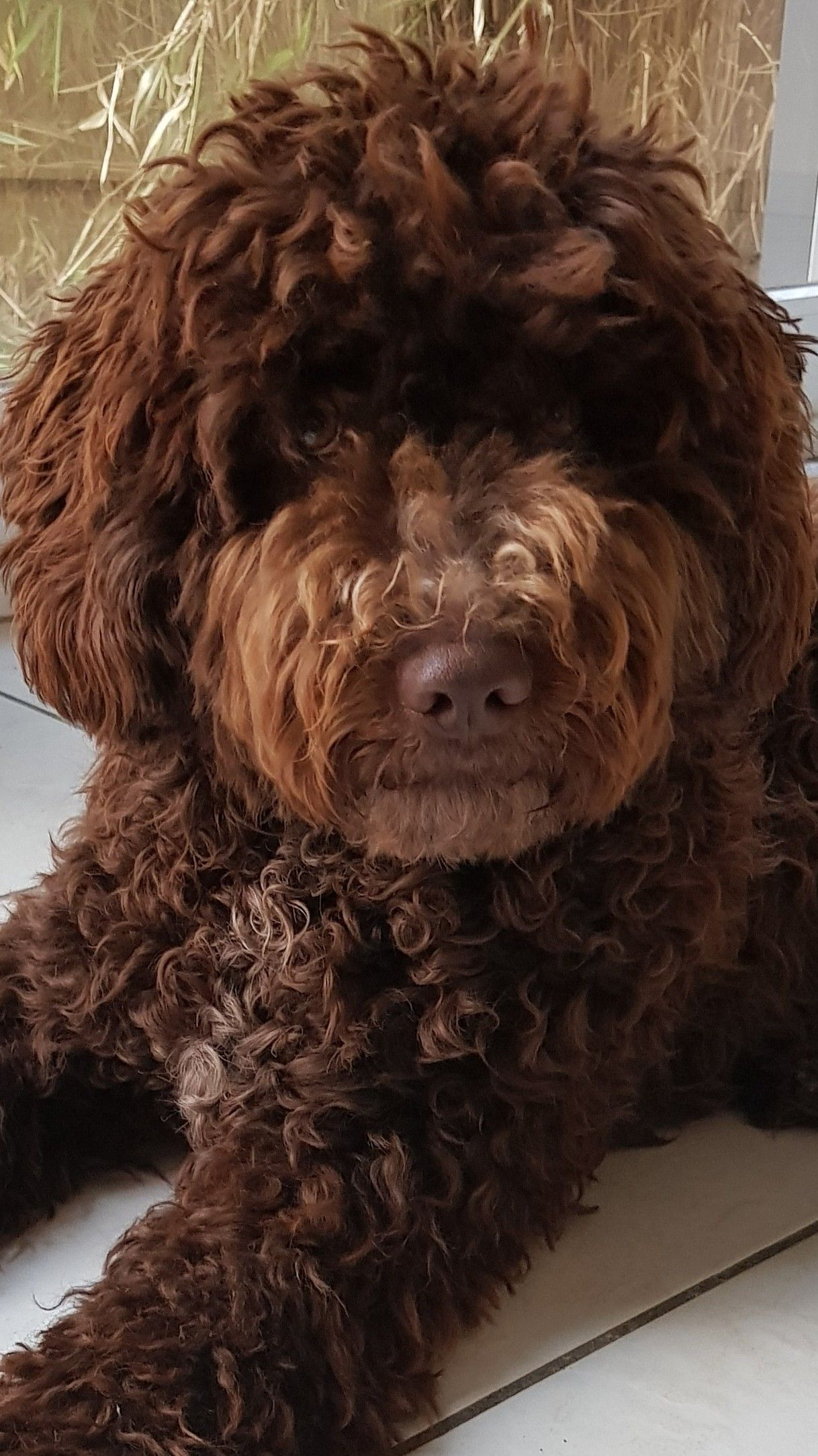 Spaanse Hond In 2020 Portuguese Water Dog Spanish Water Dog Hypoallergenic Dog Breed