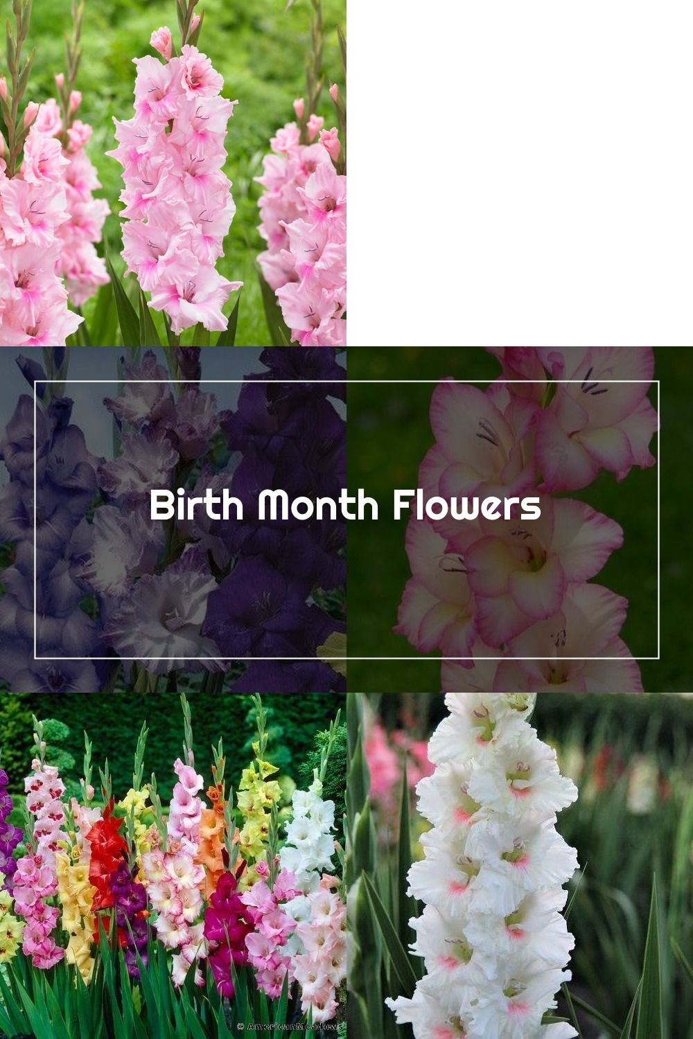 Glads Remember Me Is The Message Of Gladioli The Flowers Can Also Mean S In 2020 Birth Month Flowers Gladiolus Flowers