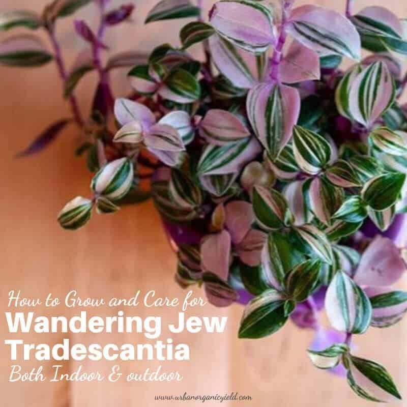 Wandering Jew Plant: Tradescantia Types, Care, And Growing Advice #wanderingjewplant