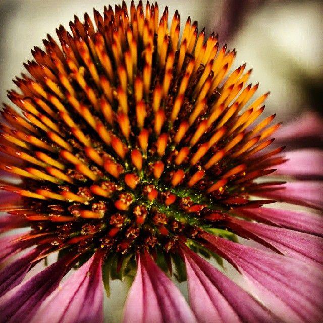 #flower #purple #closeup #garden #gardening #brantford  #ontario #canada #macrophotography #picoftheday #bestpicoftheday #fave #love