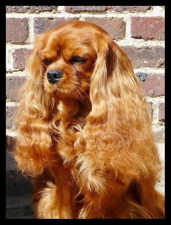 Long Ears King Charles Cavalier Spaniel Puppy Cavalier King Charles Charles Spaniel
