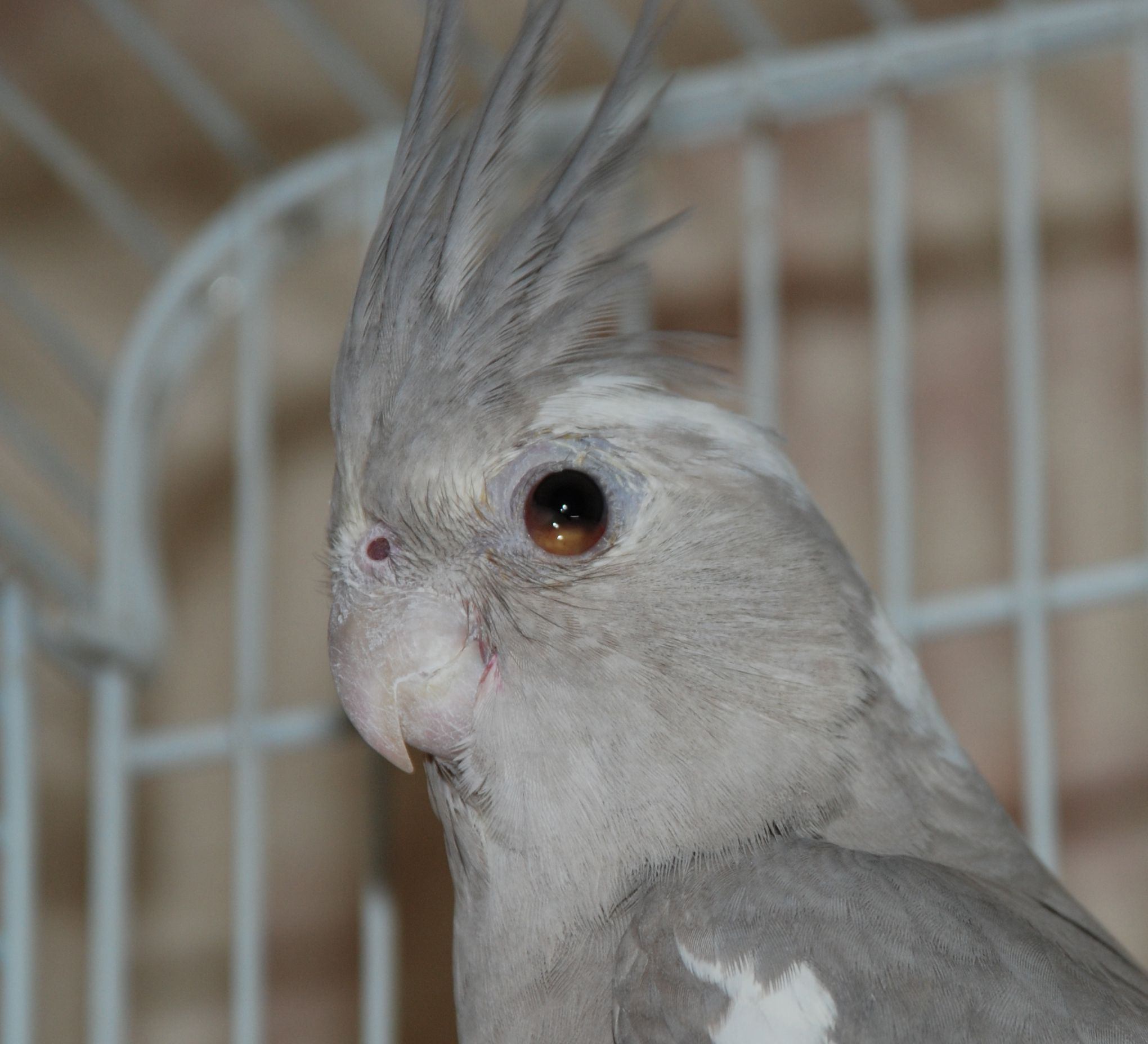 Cockatiel Eye Problems   One of my cockatiels started ...