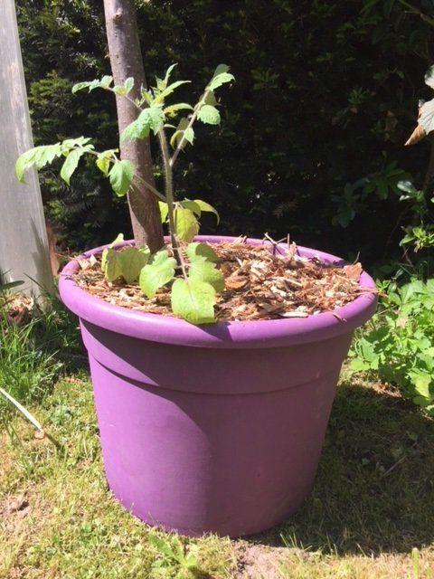 planter ses tomates en pots jardin potager bio le blog. Black Bedroom Furniture Sets. Home Design Ideas