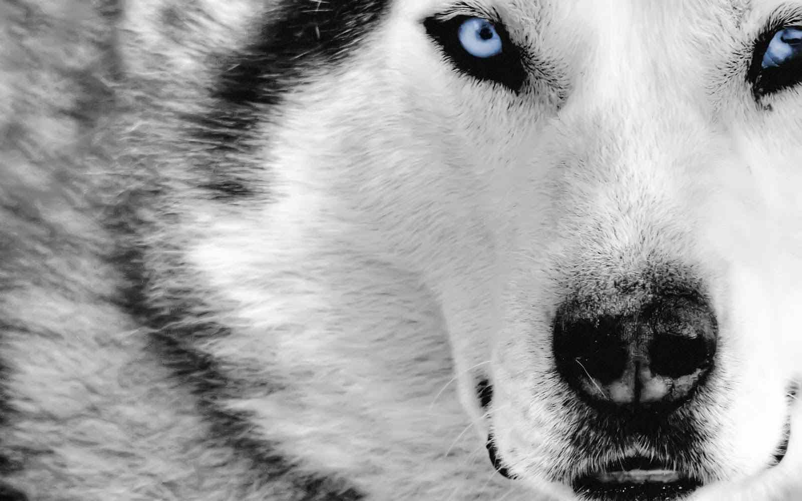 Images Of A Grey Wolf Wallpaper Wolf Wallpaper Husky With Blue