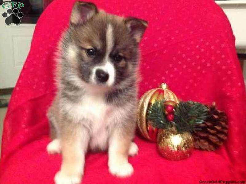 Sanford Pomsky Puppy For Sale Fresno Oh Pomsky Puppies For Sale Pomsky Puppies Puppies